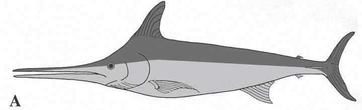 xiphiorhynchus
