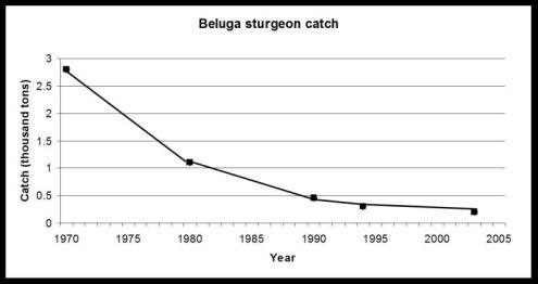 beluga-sturgeon-catch