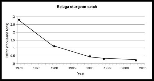 beluga-sturgeon-catch