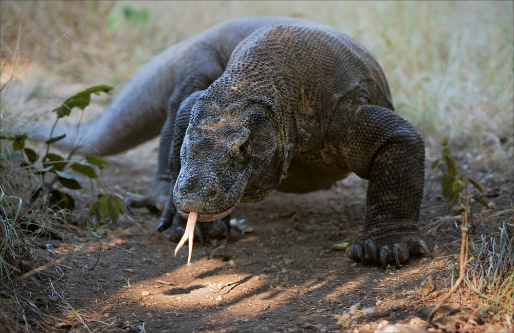 Komodo dragons have long, forked tongues that they use to help smell and taste. Credit: Sergey Uryadnikov / Shutterstock