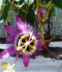 Passionflower 3