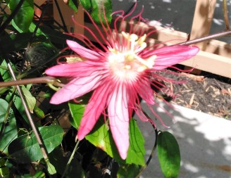 Passionflower 4