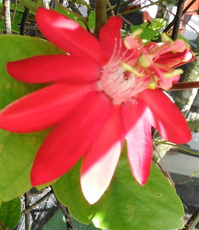 Passionflower 5