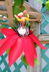 Passionflower 7